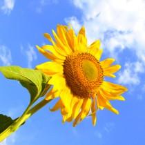 Подсолнух символизирует благодарность. Именно солнцу он обязан своей красотой, поэтому, выражая свою благодарность, он всегда раскрывается при его появлении, непрерывно поворачиваясь в направлении солнечных лучей.
